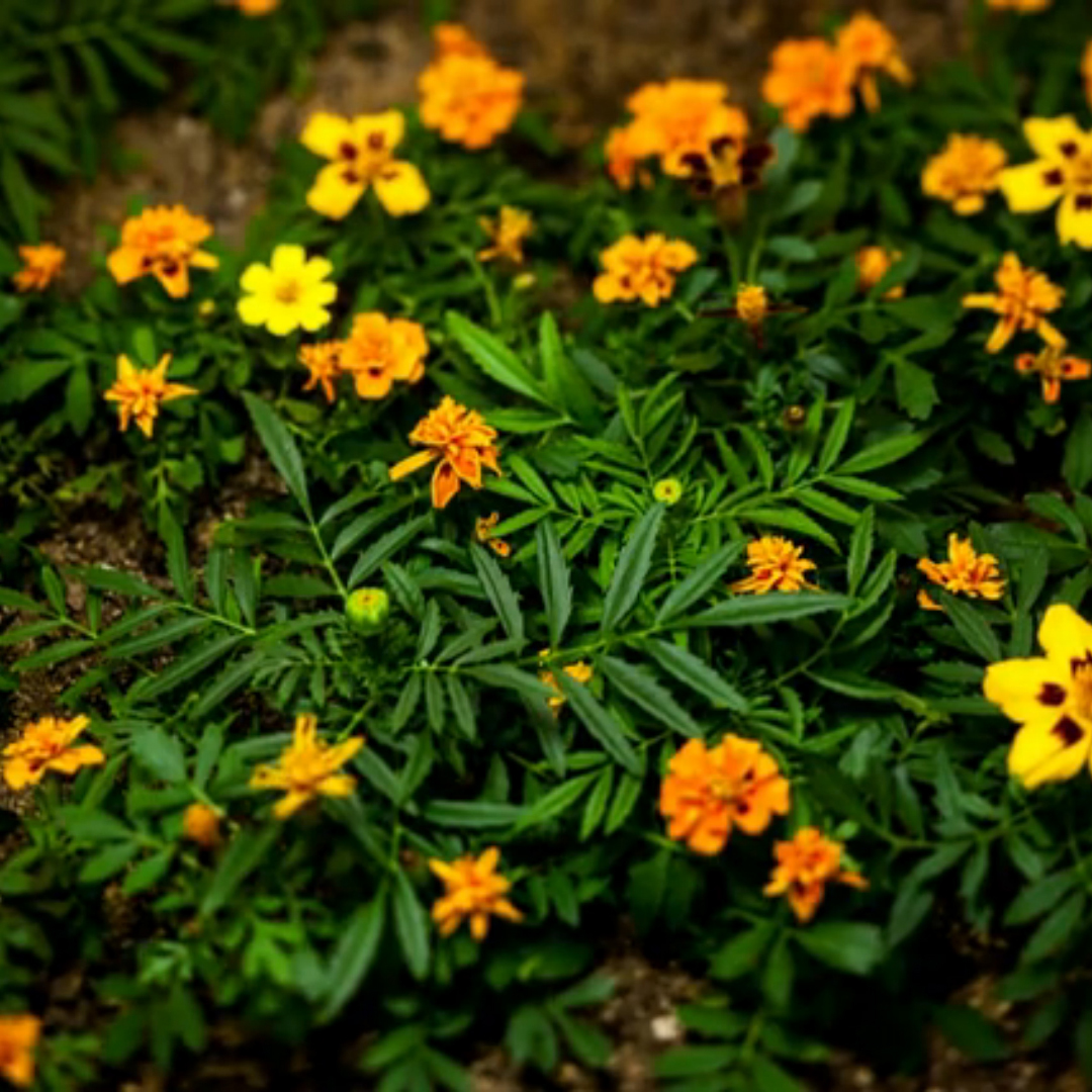 Marigolds (Video)